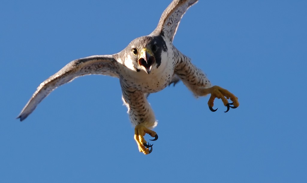 Peregrine-Falcon-Fastest-Animal-ATTACK